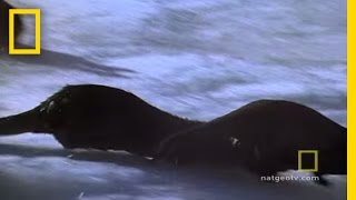 Otter Chaos | National Geographic