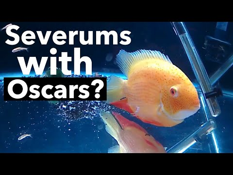 Severums with Oscar Fish? Gone BAD