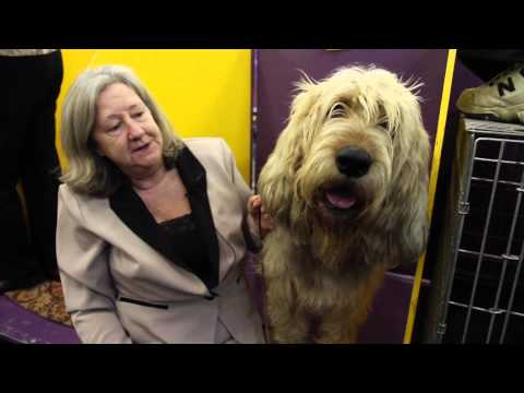 Is an Otterhound the Right Dog for You?