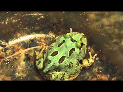 samurai blue pacman frog, and feeding