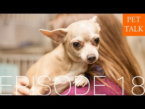 Episode 18: Addie the meth lab Chihuahua and easy home dental hygiene