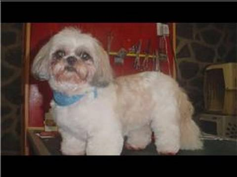 Dog Health & Treatments : What Age Will a Shih Tzu Stop Growing?
