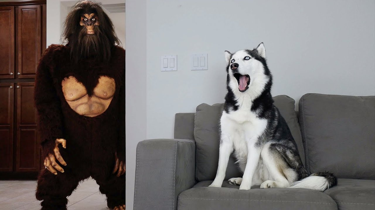 Husky Pranked By Scary Big Foot!