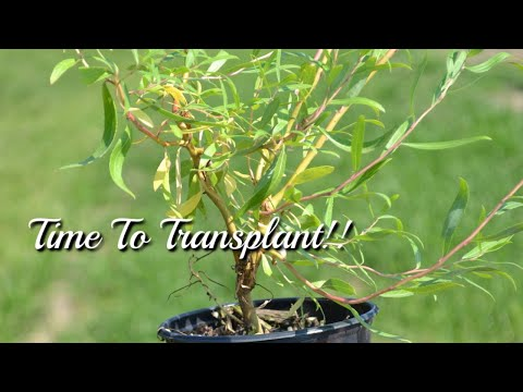 Willow Tree Seedlings | Propagated Willow Cuttings Are Doing Great!