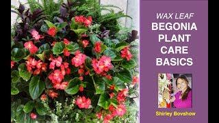 BEGONIA PLANT CARE BASICS: WAX LEAF BEGONIAS / EdenMakers