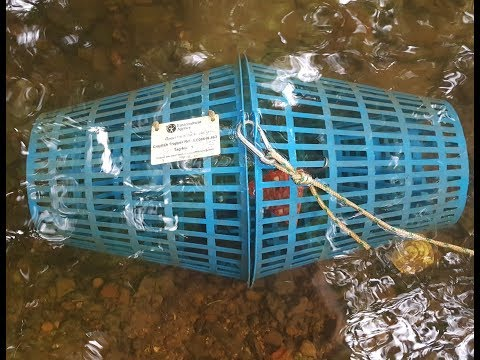 Trapping Crayfish. Retrieve, Re-bait And Reset. #SRP