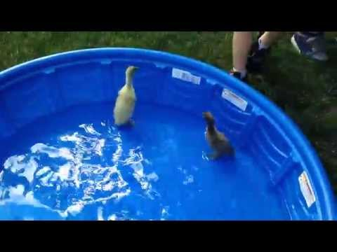 How to Care for Baby Ducks