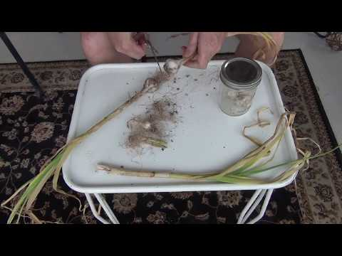EXPERIMENT! Making Black Garlic in Compost Bin