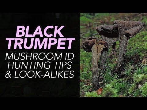 Black Trumpet Mushroom ID, Hunting Tips, & Look-Alikes