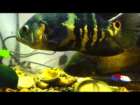 Oscar fish male & female