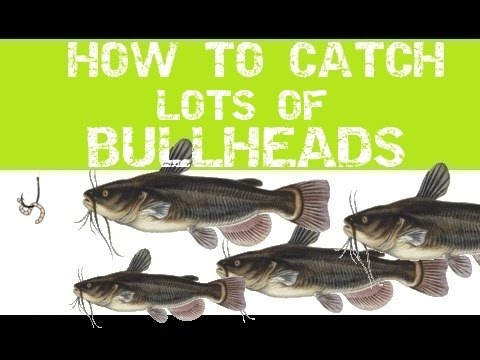 HOW TO CATCH LOTS OF BULLHEADS