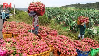 Amazing Modern Dragon Fruit Processing Factory, How To Farming Harvest Fruit \u0026 Product Process