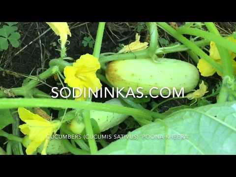 Cucumbers 'Poona Kheera'