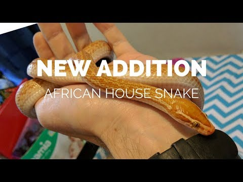 New Addition: Albino African House Snake