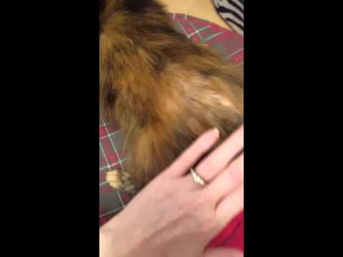 Cat fur loss from flea allergy dermatitis