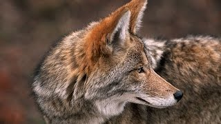 Download Coyote, The Ultimate Survivor? Nature Documentary Video