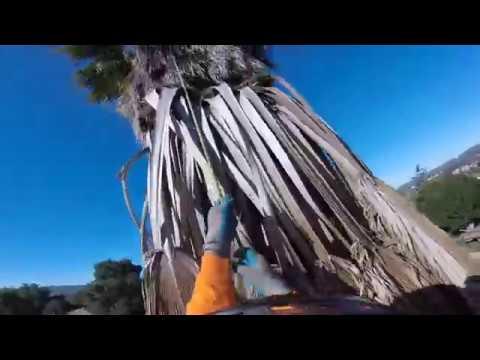 how to trim a dangerous maxican palm tree