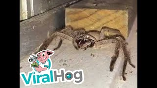 Large Huntsman Spider Cleaning Its Fangs