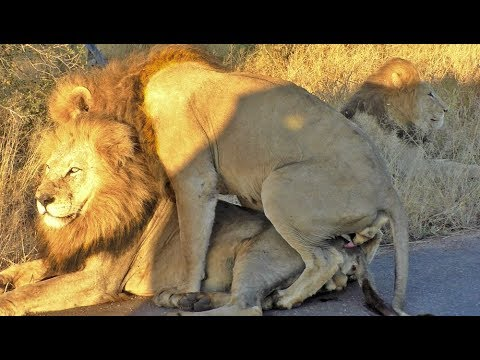 Xxx Mp4 Male Lion Mates With Another Male 3gp Sex