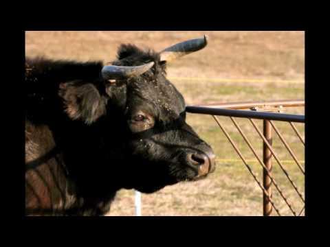 Delousing the cows: video by Grace