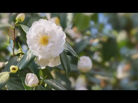 How to Grow Camellias | Mitre 10 Easy As