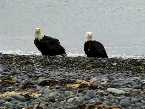 Alaskan Bald Eagles, What Are They Thinking?
