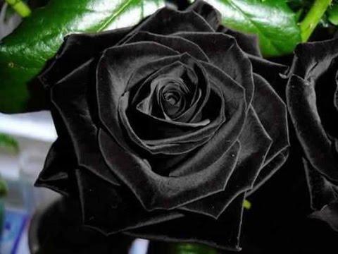 The Stunningly Beautiful Black Roses of Halfeti
