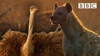 Zalika the Hyena FIGHTS an Ostrich   Serengeti - BBC