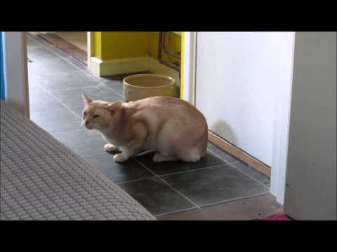 Abyssinian cat coughing? Sneezing? Asthma?