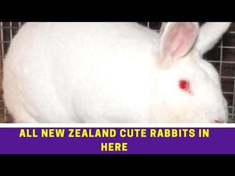 ALL NEW ZEALAND RABBITS CUTE PICTURES IN HERE