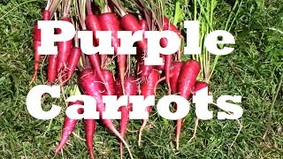 Growing Purple Dragon Carrots. From Seed to Harvest.
