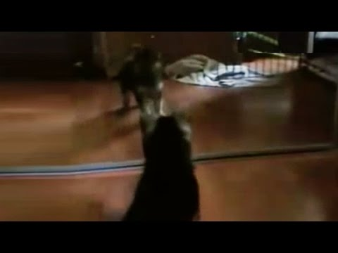 German Shepherd Puppy vs. Reflection - Dunder