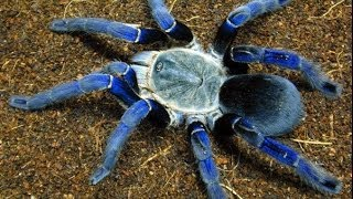 Download Top 10 Most Venomous Spiders Video