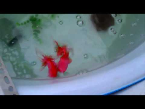 Goldfish breeds -  Sign your goldfish ready for breeding final