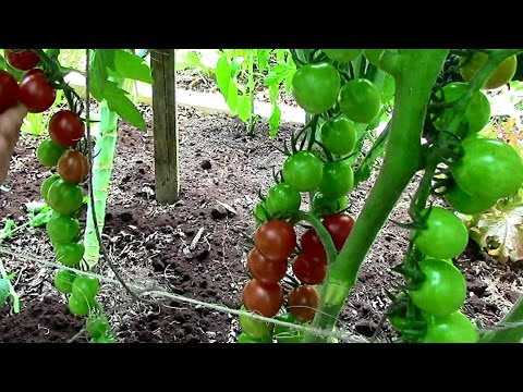 How to Prune Tomatoes for Earlier Harvests, Higher Yields & Healthier Plants