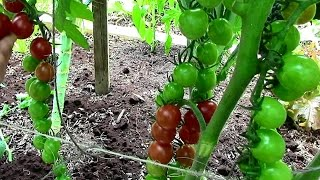 How To Prune Tomatoes For Earlier Harvests Higher Yields Healthier Pl