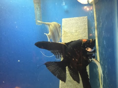 Angelfish ready to spawn