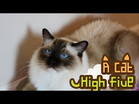 A Cat High five