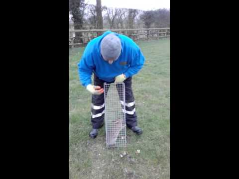 How to use catch alive rabbit traps start to finish. Setting, baiting, catching, dispatch.