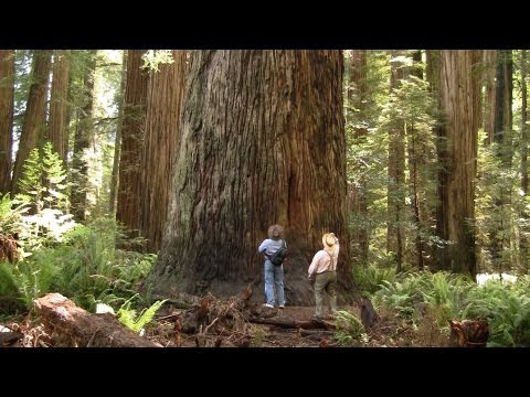 Magnificent Ancient Redwood Forest - near Crescent City, California