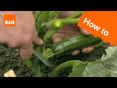 How to grow & harvest courgettes