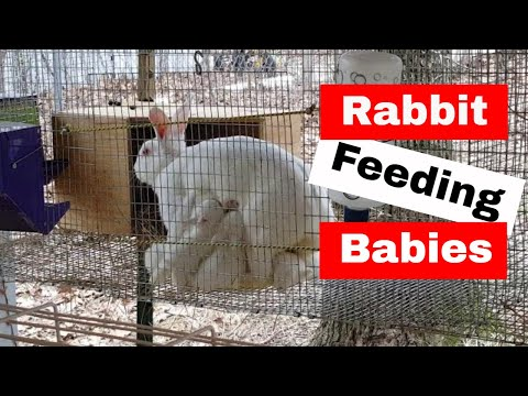 Momma rabbit feeding her babies: Marshmallow