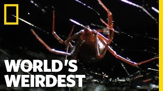 Download Deadly Mating | World's Weirdest Video