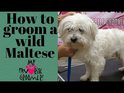 How to groom a wild maltese