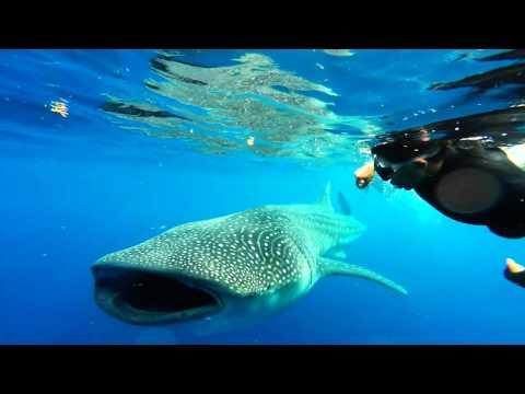 El encuentro con el Tiburón Ballena - Isla Mujeres -México