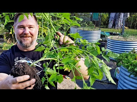 How to Transplant a Tomato Plant | Basic Gardening Tips for Beginners