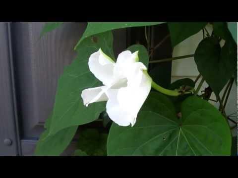 Moonflower Vine Opens flower as we watch