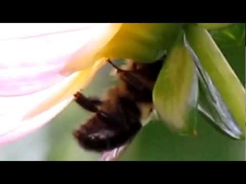 Watch bee dying after landing in flower (Fukushima Radiation )
