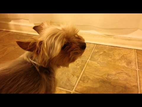 Yorkie in trouble for peeing on floor.