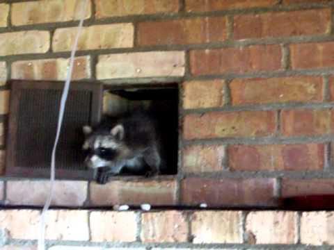 Baby Raccoon Capture